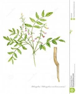 astragalus-astragalus-membranaceus-24107227